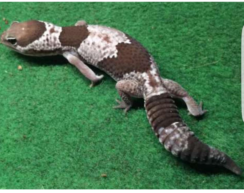 Hermosa Gecko Leopardo Para Colorear Fotos - Dibujos de Animales ...