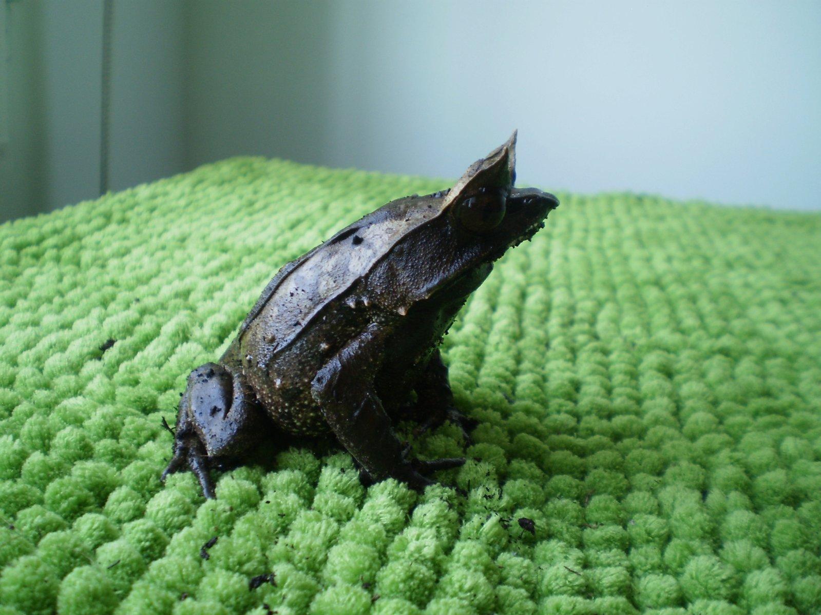 Resultado de imagen de rana de hoja malaya