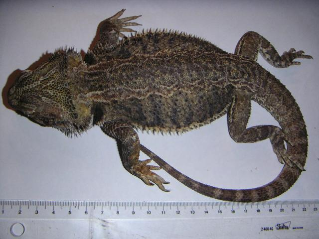 Necropsia de un dragón barbudo (sensibles, no abrir: tripas)   Fauna ...
