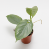 Philodendron hastatum Silver sword.png