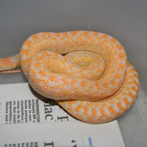 pituophis catenifer annectens albina