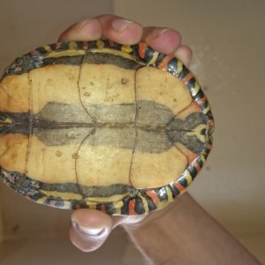 tortuga anfibia