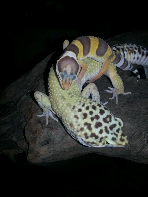 mi gecko leopardo high yellow | Fauna Exótica